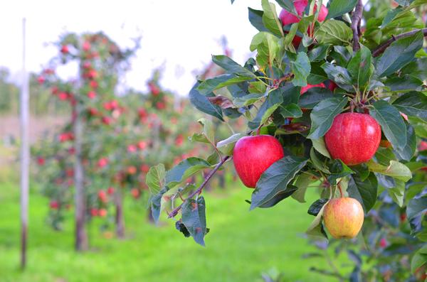 Apfelernte mit REWE - dem Obstbauern Alexander Krings über die Schulter geschaut