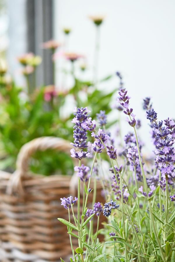 Lavendel auf meinem Balkon