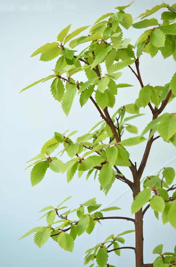 Der Maronenbaum auf meinem Balkon