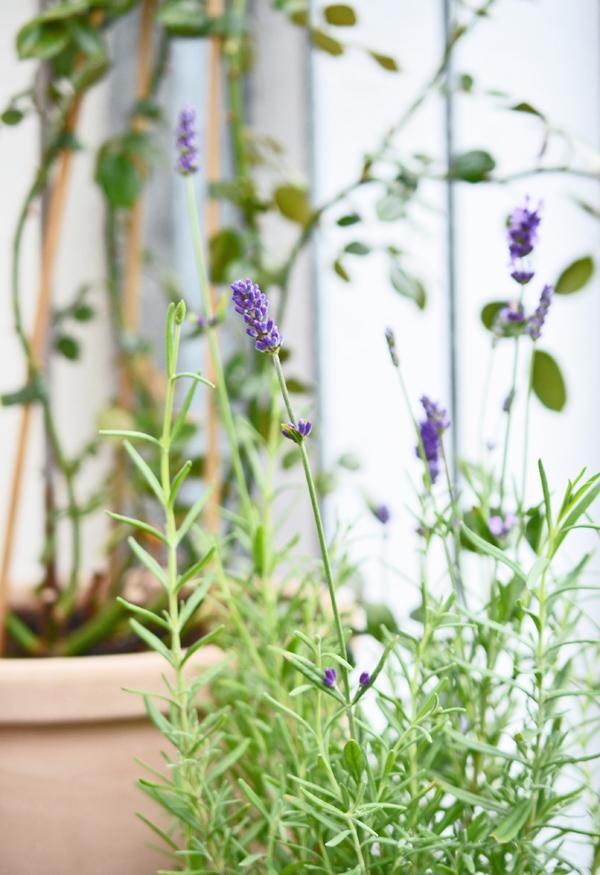 Lavendel und Kletterrose auf meinem Balkon