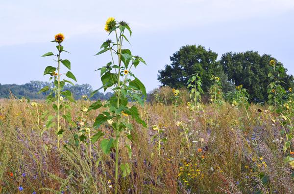 Blühwiese zur Erhaltung der Artenvielfalt auf der Obstplantage von Alexander Krings in Rheinbach