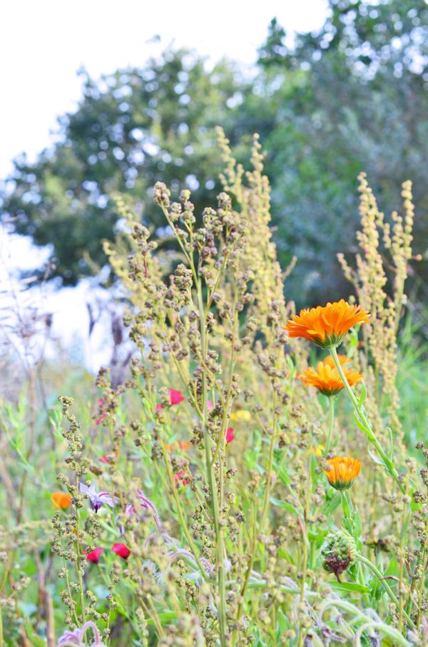 Wildblumen auf der Blühwiese der Obstplantage Alexander Krings
