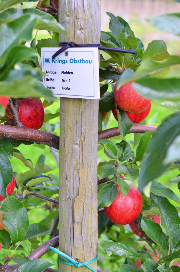Apfelernte beim Obstbauern Alexander Krings in Rheinbach