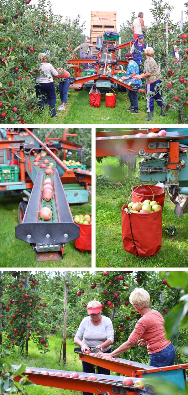 Apfelernt bei Obstbauer Alexander Krings in Rheinbach