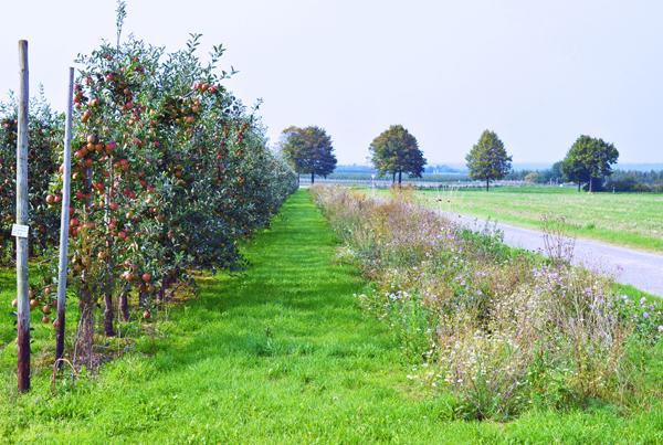 Für mehr Biodiversität: Blühstreifen am Rand der Apfelülantagen