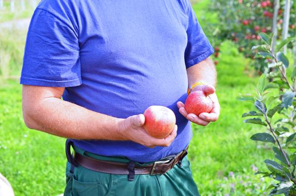 EIn Mitarbeiter auf der Apfelplantage von Obstbauer Alexander Krings bei Rheinbach